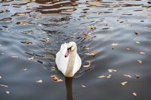 White Swans Swim In The Lake I...