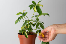 Woman Hand Holding Yellow Leaves Of Schefflera Houseplant Leaves On The White Background