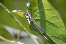 Azure Damselfly - Coenagrion Puella - In Their Natural Habitat