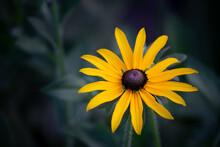 Rudbeckia Is A Genus Of Annual...