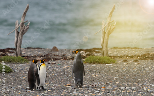 Foto King Penguin (Aptenodytes patagonicus) on a beach in Royal Bay, A penguin colony