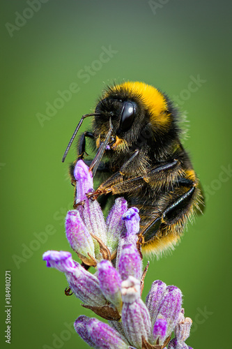 Canvas Print Bumble Bee On Lavender