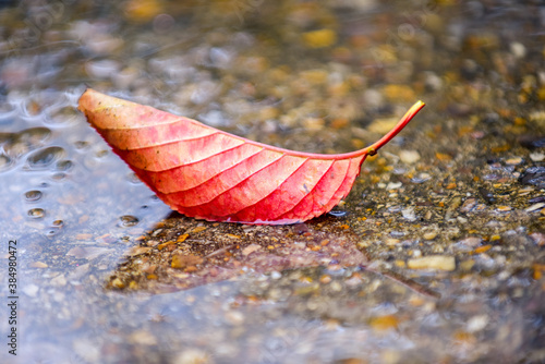 Cuadros en Lienzo Autumn red leaf in a puddle of rain water outside on a wet rainy day