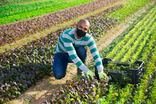 Hispanic Farmer Wearing Protective Facial Mask Working On Farm Field During Harvest Of Red Leaf Mustard. Concept Of Health Protection During Coronavirus Pandemic