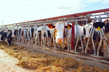 Large Cowshed With Milky Cows ...
