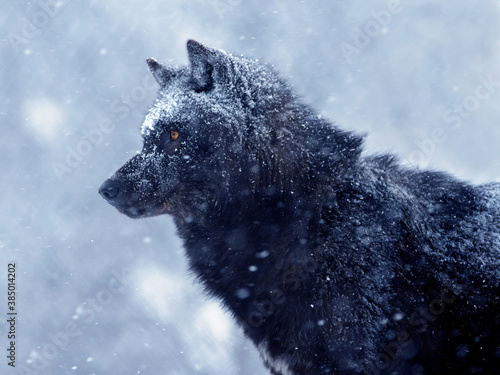 The Canadian wolf waits for its prey during a snowfall in the evening.