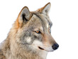 Gray wolf portrait isolated on white background.