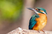 Сommon Kingfisher, Alcedo Att...