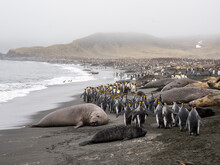 Southern Elephant Seals (Mirounga Leoninar), Resting On The Beach With Penguins, At Gold Harbor, South Georgia