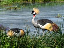 Adult African Crowned Crane (Balearica Regulorum), Ngorongoro Crater, Tanzania