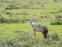Adult African Golden Wolf (Canis Anthus), Serengeti National Park, Tanzania