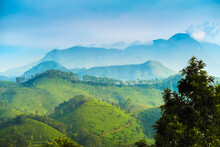 View North Across Munnar Tea Estates To The Western Ghats And 2695m Anamudi, Highest Peak In South India, Munnar, Kerala, India