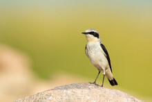 Northern Wheatear Male In It's Habitat On The Rock In Biebrza National Park In Poland