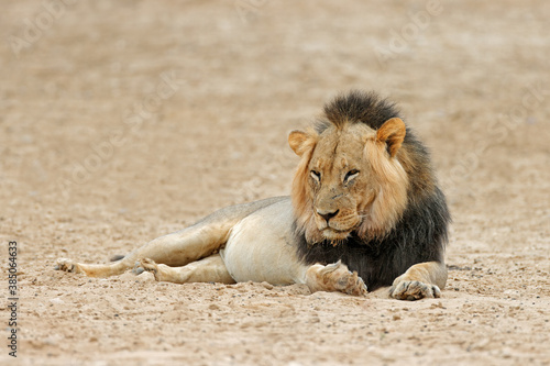 canvas print motiv - EcoView : Big male African lion (Panthera leo) resting, Kalahari desert, South Africa.