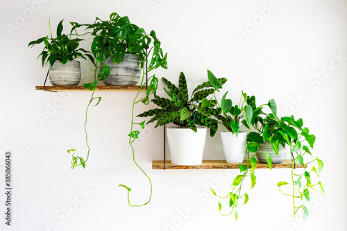 Obraz na plátně Peace Lilies, Monstera, Calathea, Golden Pothos houseplants in gray and white ceramic flowerpots on wooden shelves hanging on a white wall
