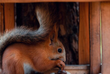 Cute Gray Squirrel Sits On The...