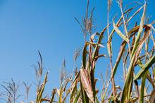 Field Corn Tassels