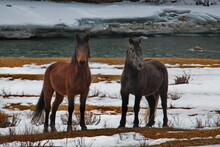 Russia. Mountain Altai. Hardy Altai Horses Among Snow And Rocks In The Mountain Valleys Of Katun Along The Chui Tract.
