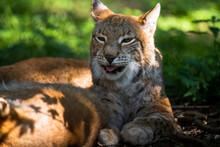 The Eurasian Red Lynx (Lynx Ly...
