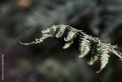 Fototapeta Liść leśnej paproci . Fern leaf in the forest. obraz