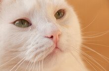 Portrait Of A Cat With White F...