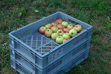 Ripe Apples Are Stored Locally...