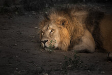 Powerful Male Lion Is Resting...