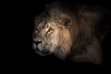 The Lion's Head Is Large, Eye...
