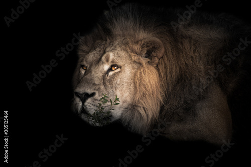 Fototapety, obrazy:  The lion's head is large, eyes. powerful male lion is resting in the twilight, close-up.