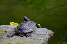 Closeup Of Turtle (trachemys S...
