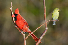 Male Northern Cardinal And Female Goldfinch On A Branch