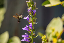 Macro Hummingbird Hawk Moth Pollinating Flowers
