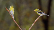 Two Goldfinches On A Sumac Branch In Spring