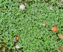 Patch Of Wet Clover In Early Autumn.