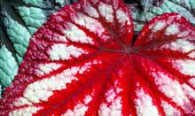 Red Begonia Rex Foliage