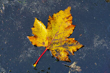 Maple Leaf In A Puddle