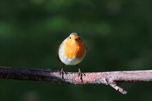Red Robin On A Branch, Looking At Camera