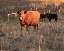 Red Angus Cow And Calf