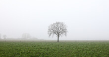 Oak Tree In A Foggy Field