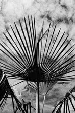 Trachycarpus Palm In B&w