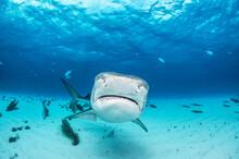 Tiger Shark Turn