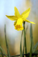 Early Daffodil In A Garden In Spring