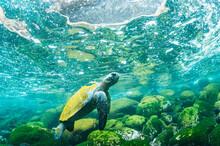 Green Turtle In Galapagos