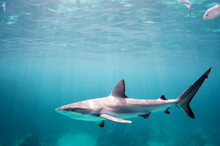 Young Reef Shark
