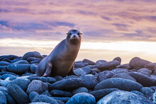 Galapagos Sea Lion Sunset