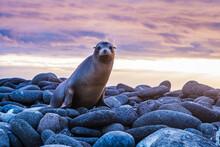 Galapagos Sea Lion Sunset
