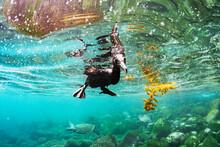 Flightless Cormorant Peaking Underwater