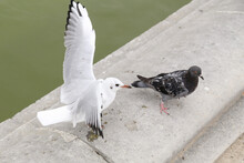 Pigeon And Seagull