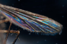 Mosquito Wing Micrograph