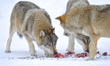 Mackenzie Valley Wolves, Canad...